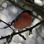 Bullfinch IMG_6439