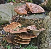 Saddle Mushroom IMG_7641