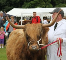 A Highland Bull- winner of his lass at the Ashbourne Show 2013