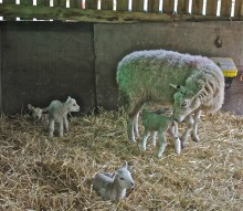 Four healthy lambs born to one ewe