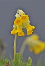 The lawn is littered with Cowslips