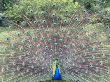 Percy the Peacock is very vain
