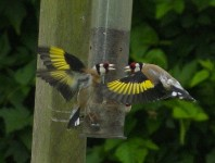 Birds - Goldfinches